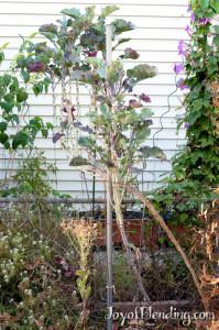 Tree Collard