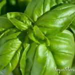 Basil Closeup